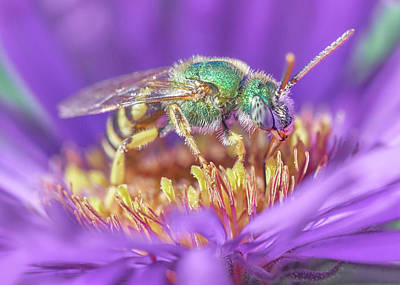 Green Halactid Bee On Purple Aster Art Print