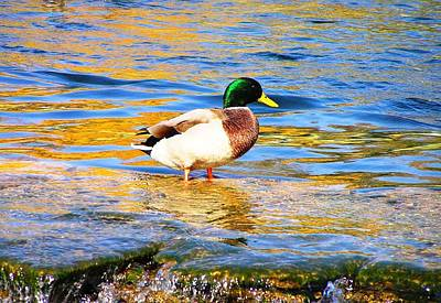Photograph - Green Head Duck by Oleg Zavarzin
