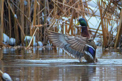 Queen - Green-headed duck - Mallard - Anas platyrhynchos by Jivko Nakev