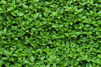 Nature Abstract Photograph - Green Hedge by Frank Tschakert