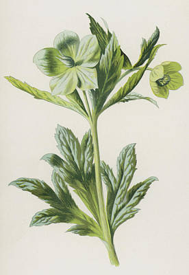 Flora Drawing - Green Hellebore by Frederick Edward Hulme