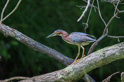 Photograph - Green Heron 1 by Brook Burling