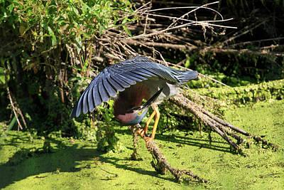Photograph - Green Heron 3 by Gary Hall