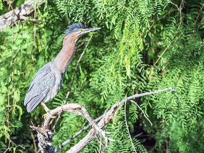 Photograph - Green Heron 6081-041818-1cr by Tam Ryan