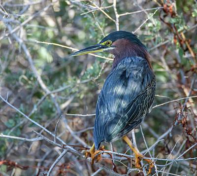 Photograph - Green Heron 9439-022218-1cr by Tam Ryan