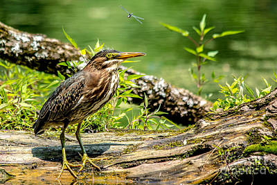 Photograph - Green Heron And Dragonfly by Cheryl Baxter