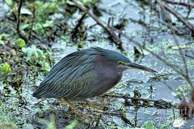 Photograph - Green Heron At Circle B by Randy Matthews
