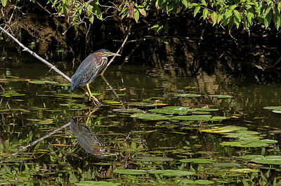 Photograph - Green Heron At Edge Of Pond by Ron Grafe