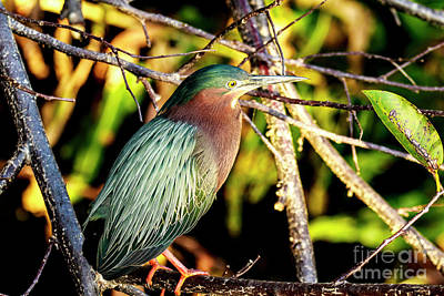 Photograph - Green Heron At Green Cay Wetlands by Ben Graham