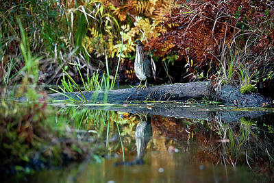 Photograph - Green Heron by Benjamin Dahl