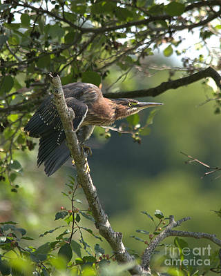 Photograph - Green Heron by Charles Owens