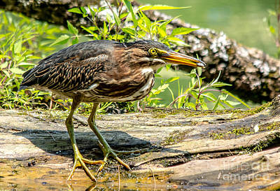 Photograph - Green Heron Close Up by Cheryl Baxter