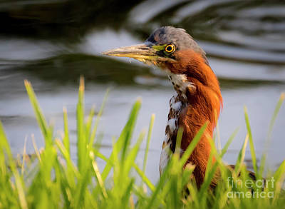 Photograph - Green Heron Closeup  by Ricky L Jones
