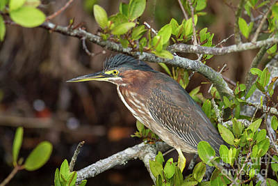 Photograph - Green Heron by David Cutts