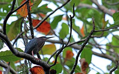 Photograph - Green Heron by Debbie Oppermann