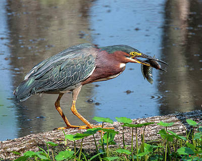 Photograph - Green Heron Dmsb0075 by Gerry Gantt