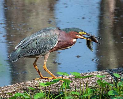 Photograph - Green Heron Dmsb0075 by Gerry Gantt
