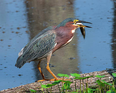 Photograph - Green Heron Dmsb0080 by Gerry Gantt