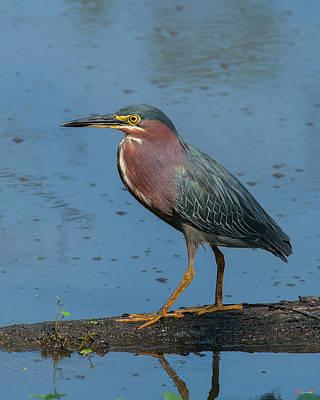 Photograph - Green Heron Dmsb0084 by Gerry Gantt