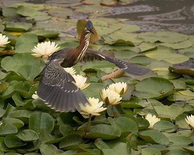 Photograph - Green Heron by Ernie Echols