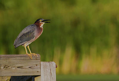 Photograph - Green Heron Evening by Edward Peterson