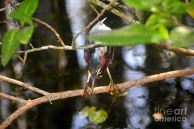 Photograph - Green Heron Hunting by David Lee Thompson