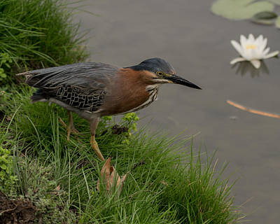 Photograph - Green Heron Hunting by Ernie Echols