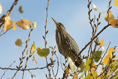 Photograph - Green Heron In Autumn by Fraida Gutovich