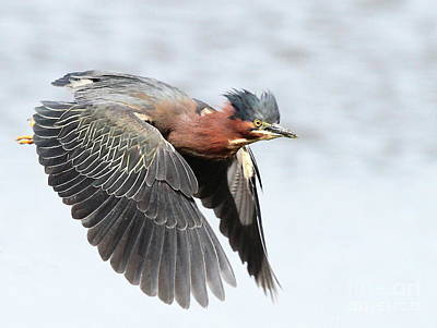 Bif Photograph - Green Heron In Flight . 7d627 by Wingsdomain Art and Photography
