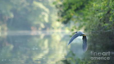 Photograph - Green Heron In Flight by Erick Schmidt