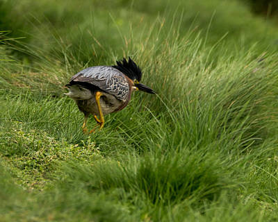 Photograph - Green Heron In Pursuit by Ernie Echols