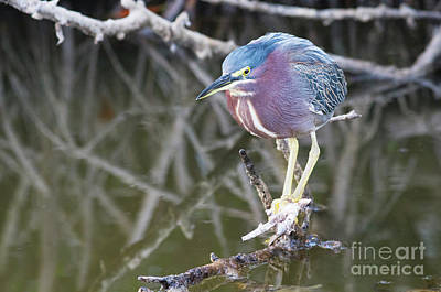 Photograph - Green Heron In The Swamp by David Cutts