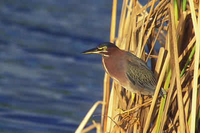 Photograph - Green Heron by John Burk