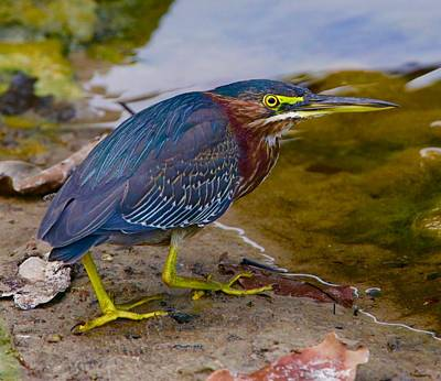 Photograph - Green Heron by John Kearns