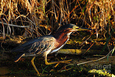 Art Print featuring the photograph Green Heron by Larry Ricker