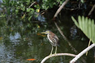 J N Ding Darling National Wildlife Refuge Photograph - Green Heron Listening by Debra Larabee