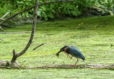 Photograph - Green Heron Lunch by Edward Peterson