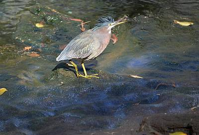 Photograph - Green Heron - Manatee Springs by rd Erickson
