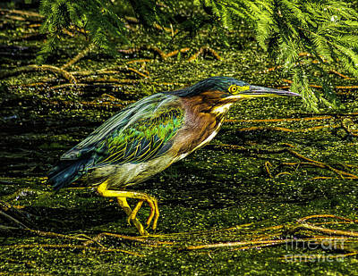 Photograph - Green Heron by Nick Zelinsky