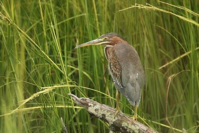 Photograph - Green Heron On A Branch by Karen Silvestri