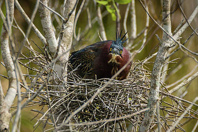 Photograph - Green Heron On Nest by Dawn Currie