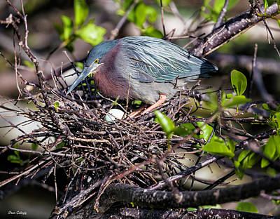 Photograph - Green Heron On Nest by Fran Gallogly