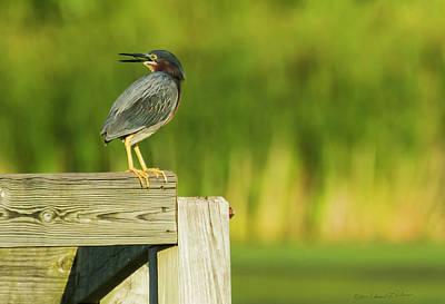 Photograph - Green Heron On The Corner by Edward Peterson