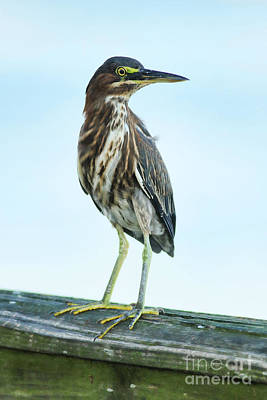 Photograph - Green Heron On The Dock by Deborah Benoit