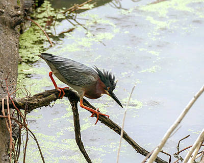 Photograph - Green Heron On The Prowl by Bill Jordan