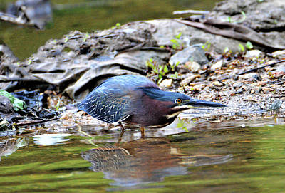 Photograph - Green Heron On The Shore by Kathy Kelly