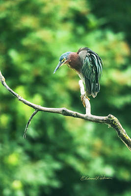 Photograph - Green Heron Perched by Edward Peterson