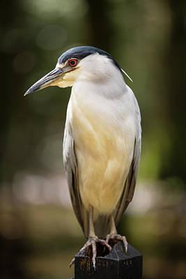 Photograph - Green Heron Portrait by Allan Morrison
