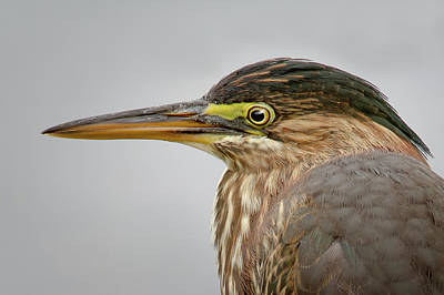 Photograph - Green Heron Portrait by Craig Strand