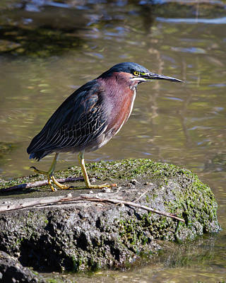 Photograph - Green Heron Portrait I by Dawn Currie